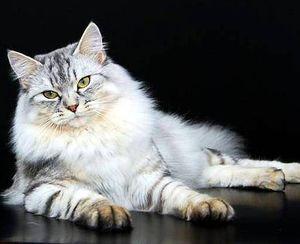 Окрасы сибирских кошек