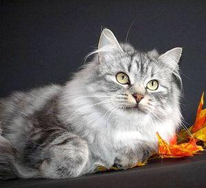 Содержание сибирской кошки