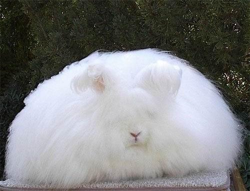 Кролик английский ангорский