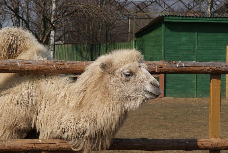 Двугорбый верблюд бактириан