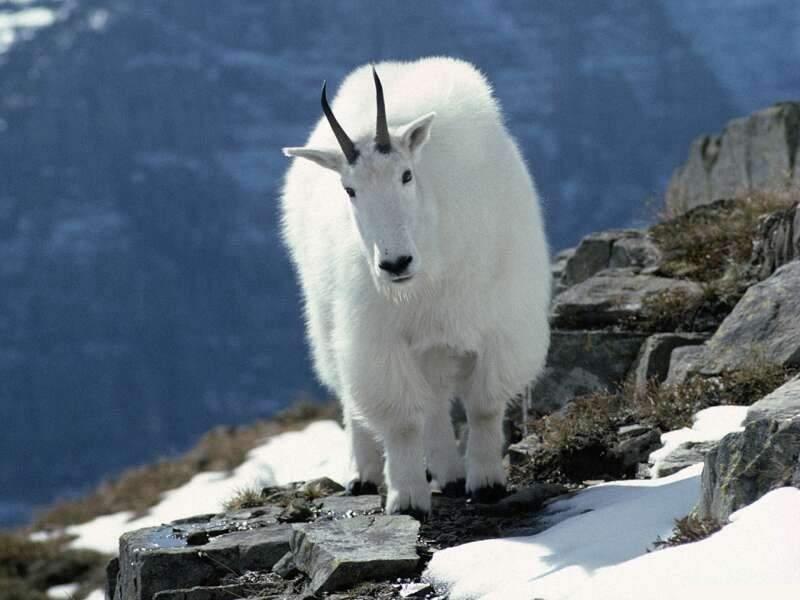 Кашмирская коза