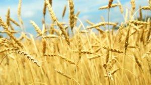 Выращивание пшеницы на поле