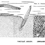 Органы дыхания ланцетника