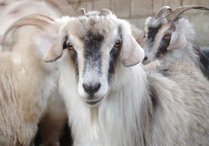 Высокогорная коза Кашмира