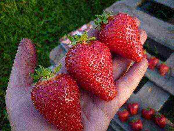 как выращивать вьющуюся клубнику в открытом грунте